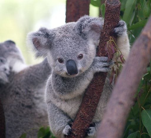 Cute koala image